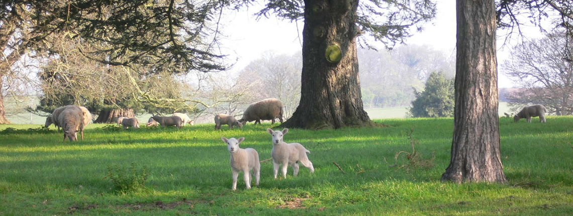 Spring lambs in the  Forest of Dean close to Wharton Lodge Cottages, wonderful gardens and luxury holiday cottages in the majestic Wye Valley